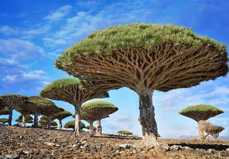 Poze Haioase - Arborele Dragonblood (Sangele dragonului) din Yemen