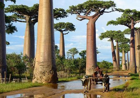 Poze Haioase - Arborii baobabii din Madagascar