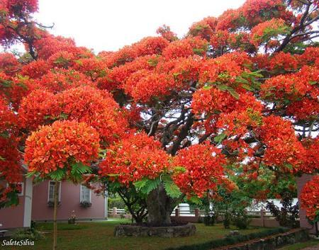 Poze Gradina de flori - Copacul 'flamboiant' din Madagascar