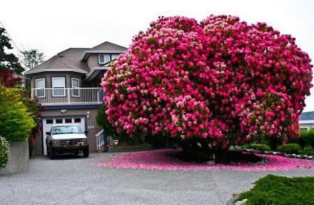 Poze Gradina de flori - Un arbust decorativ catarator: Glicina (Wisteria)