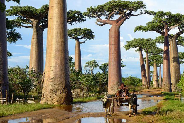 Arborii baobabii din Madagascar