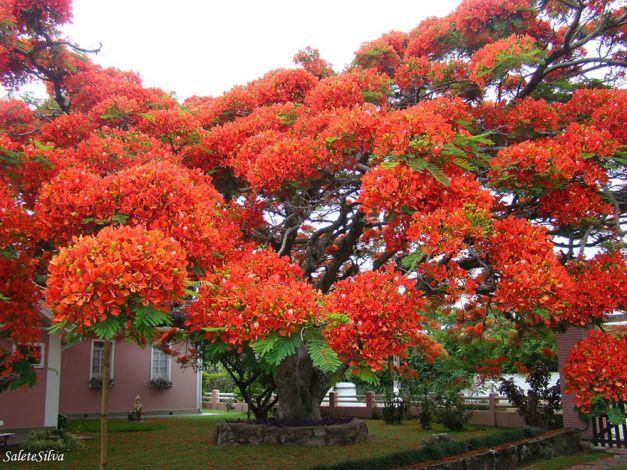 Copacul flamboiant din Madagascar