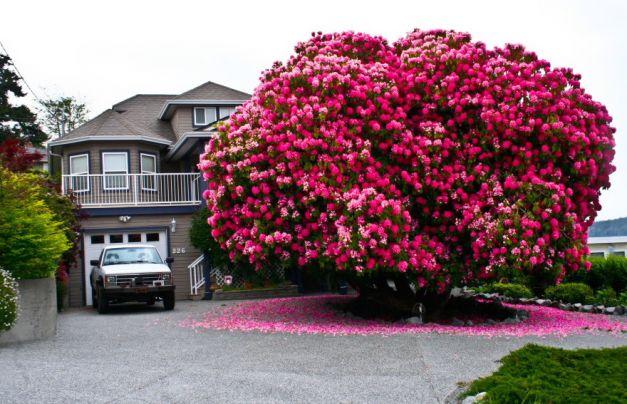 Glicina (Wisteria) este un arbust decorativ catarator