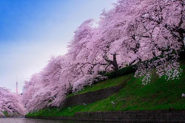 Ciresi japonezi infloriti