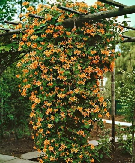 Poze Gradina de flori - Caprifoiul, planta cataratoare rezistenta cu flori minunat parfumate