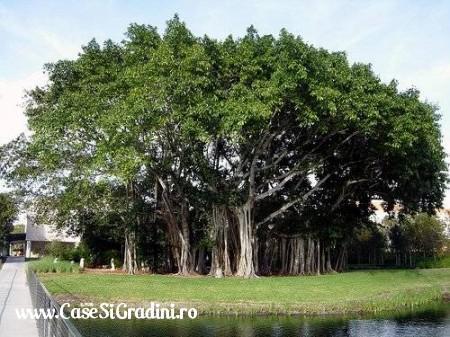 Poze Haioase - copac_multitrunchi.jpg