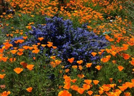 Poze Gradina de flori - Albastrul si portocaliul, o combinatie care nu da gres nici in gradina