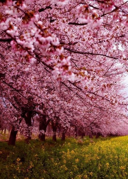 Poze Gradina de flori - Livada inflorita cu ciresi din Japonia