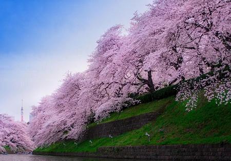 Poze Gradina de flori - Ciresi japonezi infloriti