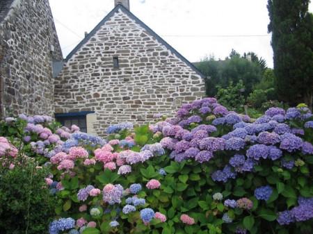 Poze Gradina de flori - Hortensiile decoreaza gradina cu bogatia lor de nuante si tonuri cromatice