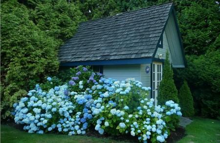 Poze Casute de gradina - Armonie cromatica intre hortensii si casuta de gradina alaturata