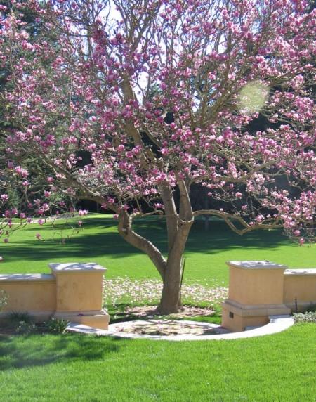 Poze Gradina de flori - Magnoliu inflorit