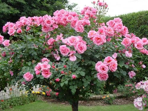 Cum sa ai trandafiri infloriti toata vara
