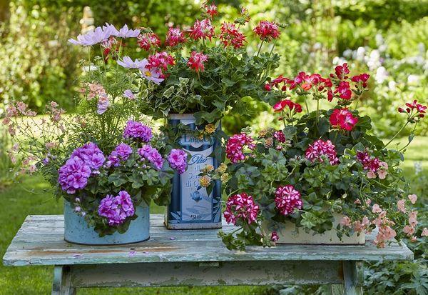 In casa, gradina, terasa sau balcon, muscatele colorate ne fac viata mai frumoasa