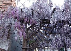 Glicina planta cu ciorchini lila for Glicina planta