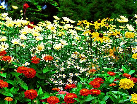 rasaduri de flori de gradina