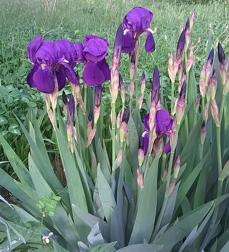 Florile de iris decoreaza gradinile la inceput de vara