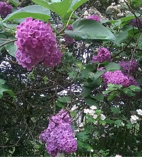Liliacul aduce parfum si culoare in gradini si parcuri
