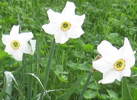 Narcisele, flori de primavara nelipsite din gradinile noastre