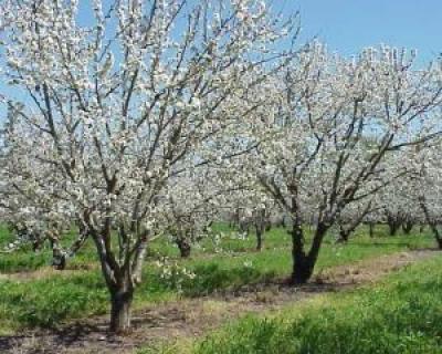 Taierile aplicate pomilor fructiferi