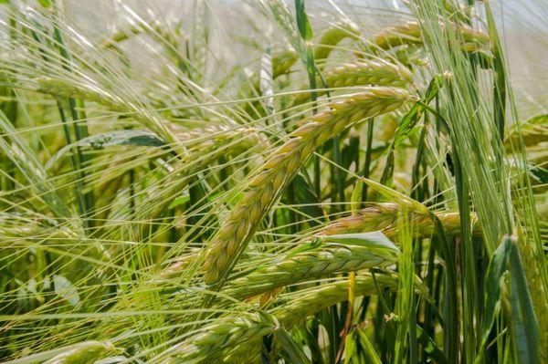 Care seminte de orz sunt necesare oricarui fermier roman?