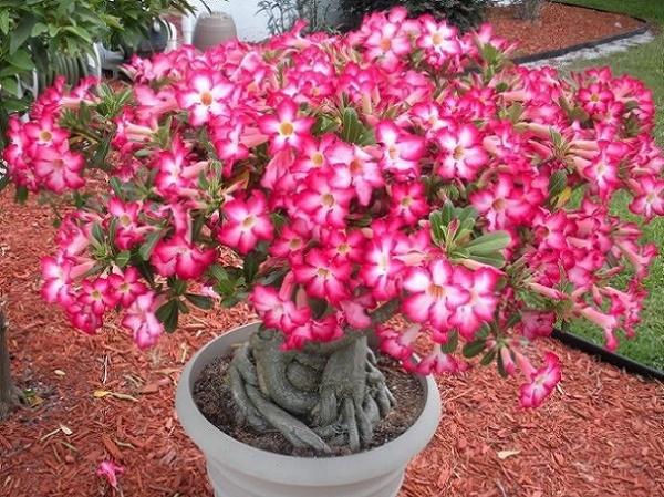 Trandafirul desertului - Adenium Obesum