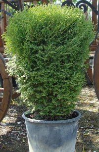 THUJA OCCIDENTALIS KOBOLD - THUJA OCCIDENTALIS KOBOLD