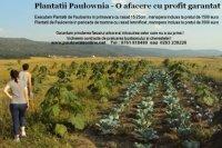 PLANTATII PAULOWNIA - PLANTATII PAULOWNIA