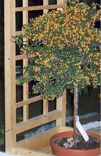 Arbusti ornamentali plante si flori arbori si arbusti for Arbusti ornamentali