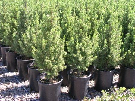 Braduti naturali la ghiveci plante si flori arbori si for Arbusti ornamentali