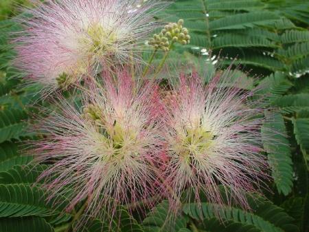 Albizia julibrissin plante si flori arbori si arbusti for Arbusti ornamentali