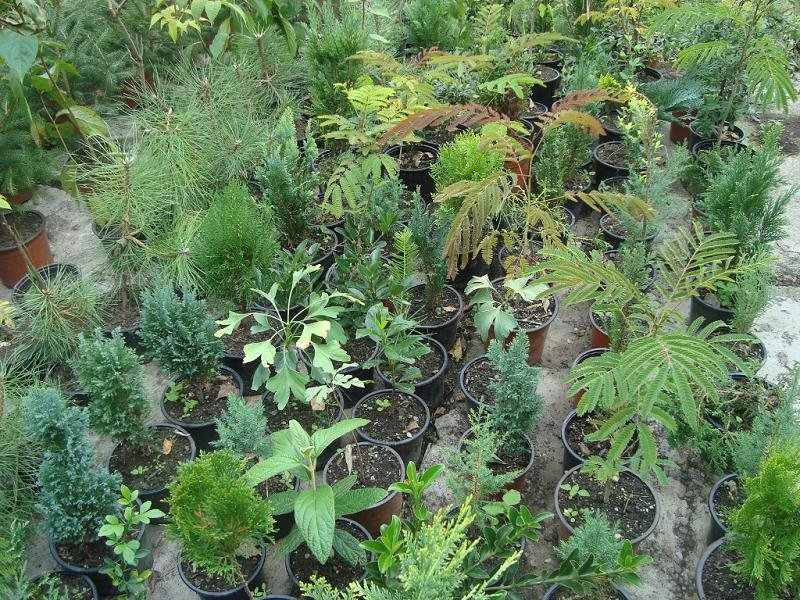 Puieti arbori si arbusti ornamentali indigeni si exotici for Arbusti ornamentali