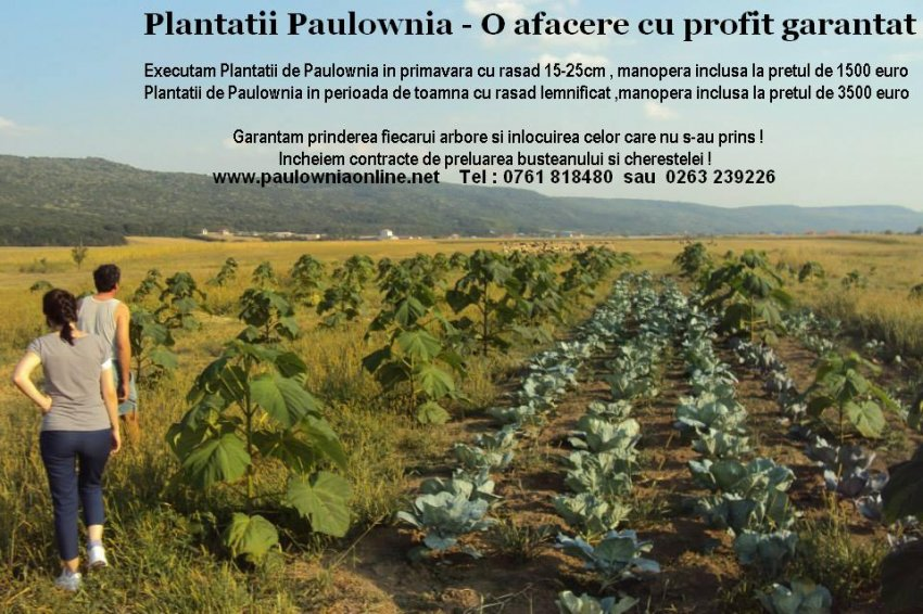 PLANTATII PAULOWNIA
